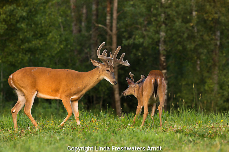 White-tailed bucks in summer