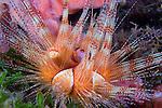 A Juvenile Magnificent Sea Urchin (Astropyga magnifica) , St Vincent
