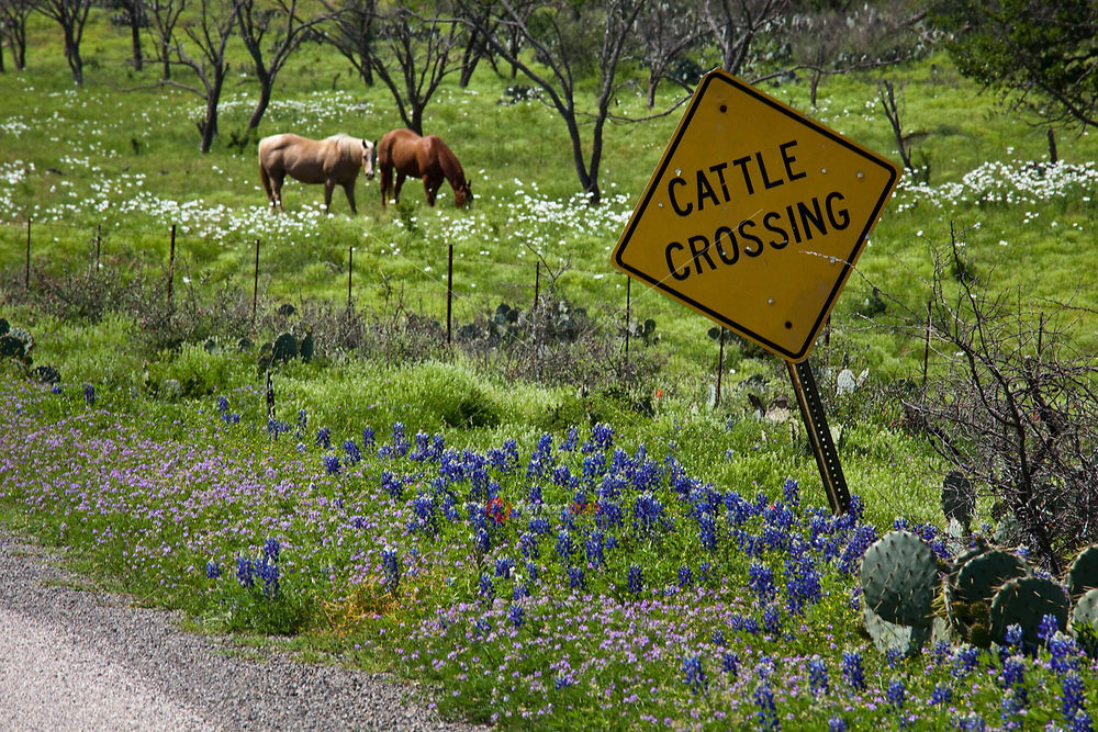 Horses grazing with Texas Bluebonnets (Lupinus) featuring a Cattle Grazing sign near Llano County, Texas, USA