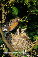 01382-03109 American Robin (Turdus migratorius) male and female at nest in Crabapple tree (Malus sp. )  Marion Co.  IL