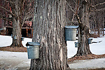 Buckets collect sap for maple syrup in Charlemont, MA, USA
