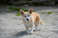 Male Corgi dog Lydbury North, Shropshire, England, September 2012.