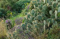 Le Domaine du Rayol:<br /> dans le jardin des Canaries, oponce (Opuntia sp) et lavande papillon (Lavandula stoechas).