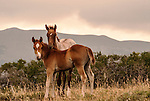 Native American Foals stay close, just outside of Northwest Yellowstone.