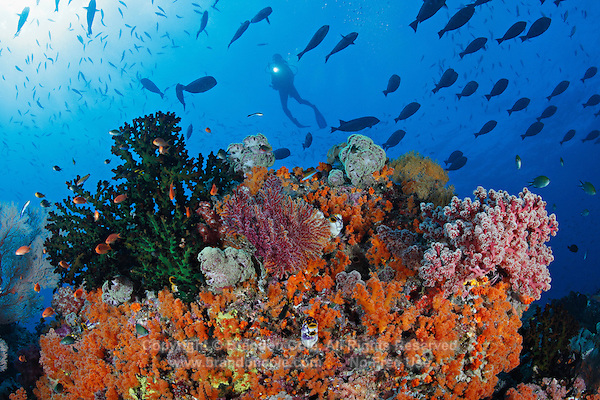 qp40217-D. scuba diver (model released) swims through school of surgeonfish above reef alive with colorful corals. Indonesia, tropical Indo-Pacific Oceans.<br /> Photo Copyright &copy; Brandon Cole. All rights reserved worldwide.  www.brandoncole.com<br /> <br /> This photo is NOT free. It is NOT in the public domain. This photo is a Copyrighted Work, registered with the US Copyright Office. <br /> Rights to reproduction of photograph granted only upon payment in full of agreed upon licensing fee. Any use of this photo prior to such payment is an infringement of copyright and punishable by fines up to  $150,000 USD.<br /> <br /> Brandon Cole<br /> MARINE PHOTOGRAPHY<br /> http://www.brandoncole.com<br /> email: brandoncole@msn.com<br /> 4917 N. Boeing Rd.<br /> Spokane Valley, WA  99206  USA<br /> tel: 509-535-3489