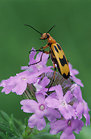 Blister Beetle, Meloidae, adult on Prairie Verbena (Verbena bipinnatifida) , Lake Corpus Christi, Texas, USA