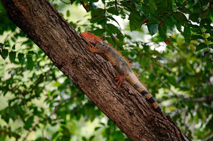 A Green Iguana (Iguana iguana) Manuel Antonio, National Park, Manuel Antonio, Costa Rica
