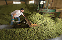 05/09/14 <br /> <br /> Dry hops ready for bailing.<br /> <br /> Thanks to ideal growing conditions over the summer, Britain's hop harvest is set to be a bumper crop.<br /> <br /> Picking stopped early yesterday at Stocks Farm, Worcestershire, as the 'Heath Robinson' style 1962 Bruff hop picking machine was overwhelmed by the volume of hops coming in from the 100 acres of hops the farm grows.<br /> <br /> The golding hops are the first to picked this year from the bines that are strung up on a total of 550 miles of twine that stretch across the farmland near the Malvern Hills. &quot;That's enough to make 46m pints of craft ale&quot; said farmer and hop expert Ali Capper.<br /> <br /> The farm grows a variety of hops supplying national brewers including Fullers, Greene King, St Austell and Marston's, and hundreds of craft breweries and brewers in the UK and USA.<br /> <br /> &quot;We've had perfect growing conditions this year, a lovely warm summer and even rainfall. The whole crop is looking wonderful and the aromas are much better than last year,<br /> <br /> &quot;It should be a bumper crop - but we can't be sure until it's all in&quot;<br /> <br /> &quot;The demand from small brewers is rising each year&quot; added Ali<br /> <br /> &quot;This year we'll be selling 100 gram bags for home brewers too - that's enough to brew at least 20 pints. <br /> <br /> In 2013 almost half of all British hops were exported to to the USA - and this figure is still rising&quot; she said.<br /> <br /> All Rights Reserved - F Stop Press.  www.fstoppress.com. Tel: +44 (0)1335 300098