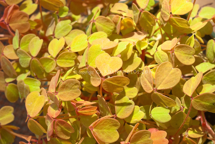 Oxalis vulcanicola 'Molten Lava' annual foliage plant yellow orange colored shamrocks