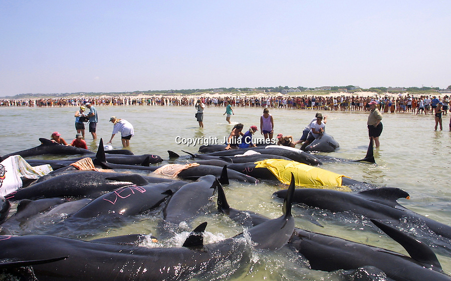 A large crowd watches as rescue workers try to free over 50 pilot whales stranded on Chapin Beach in Dennis, Ma.