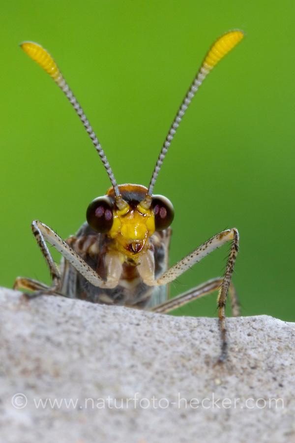 Ameisenjungfer, Megistopus flavicornis, Myrmeleon flavicornis, le fourmilion flavicorne, Ameisenjungfern, Myrmeleontidae, antlion, antlions