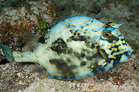 nr0646-D. Scrawled Cowfish (Lactophrys quadricornis). Belize, Caribbean Sea.<br /> Photo Copyright &copy; Brandon Cole. All rights reserved worldwide.  www.brandoncole.com