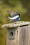 Tree swallows copulating on their nestbox in northern Wisconsin