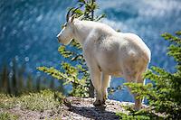 Mountain Goat on Hidden Lake Trail at Glacier National Park