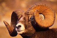 Bighorn Sheep Ram Canadian Rockies