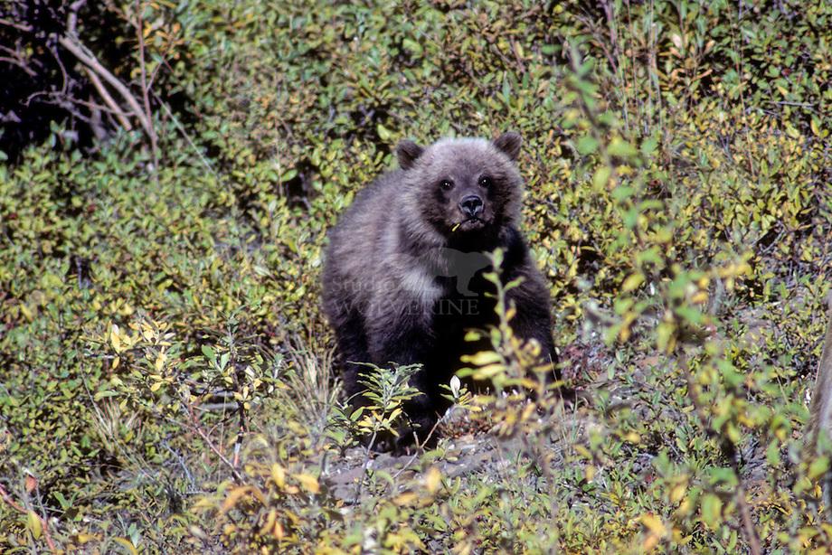 Grizzly bear (Ursus arctos) jong.