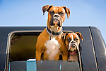 Boxer dogs looking out truck window.