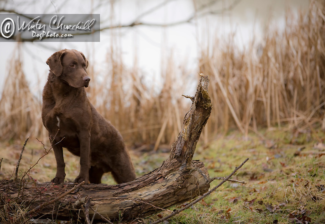 Chessapeake Bay Retriever on a log at waters edge Chessapeak Bay Retriever at waters edge Shopping cart has 3 Tabs:<br />