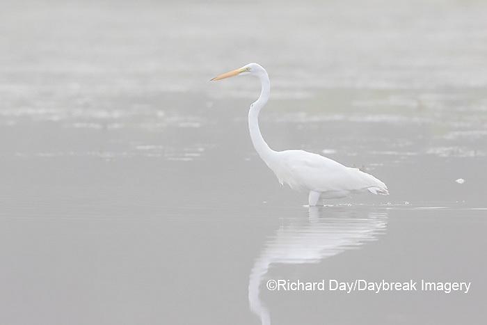 00688-02307 Great Egret (Ardea alba) in wetland in fog, Marion Co., IL