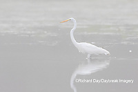 00688-02307 Great Egret (Ardea alba) in wetland in fog, Marion Co., IL