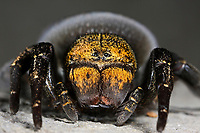 Rote Röhrenspinne, Schwarze Röhrenspinne, Weibchen, Eresus kollari, Eresus cinnaberinus, Eresus niger, Lady bird spider, ladybird spider, velvet spider, female, Érèse coccinelle, Röhrenspinnen, Eresidae, ladybird spiders