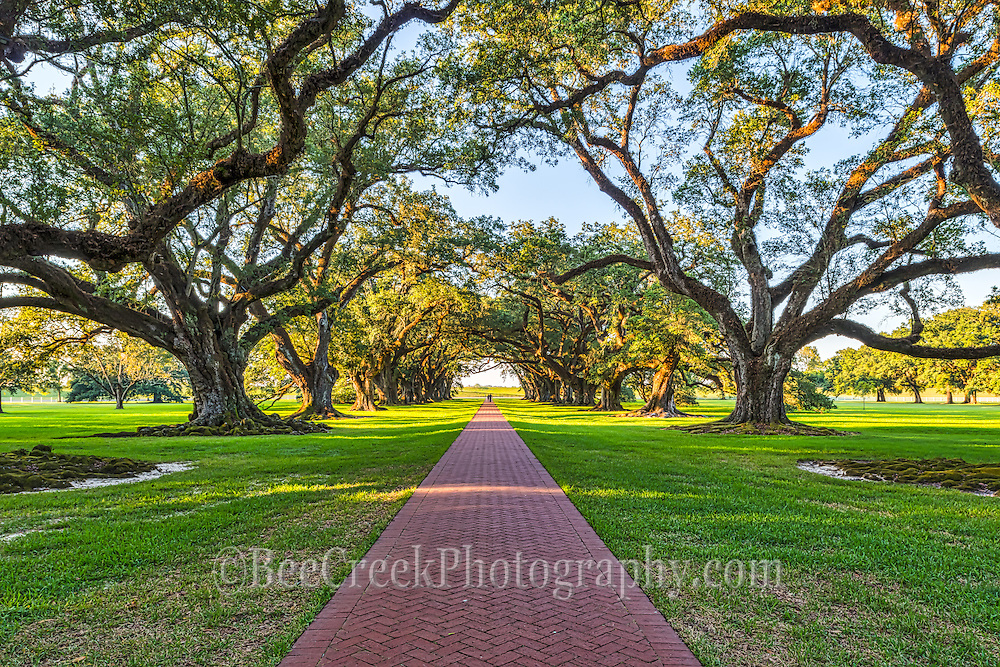 These are the trees of Oak Alley as the path into the tunnel of giant oak trees.
