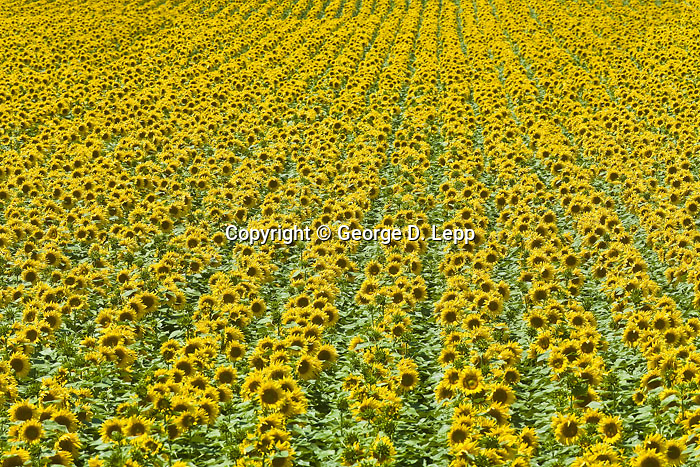 Sunflowers, Commercial, (Corbis 4-2011)
