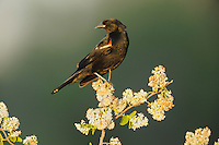 Red-winged Blackbird (Agelaius phoeniceus), male perched, Sinton, Corpus Christi, Coastal Bend, Texas Coast, USA