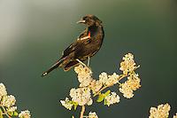 Red-winged Blackbird (Agelaius phoeniceus), male perched, Sinton, Corpus Christi, Coastal Bend, Texas Coast, USA