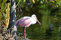 Beautifully rose colored spoonbill on a small island overlooking water at Wakodahatchee Wetlands, Delray Beach, Florida.
