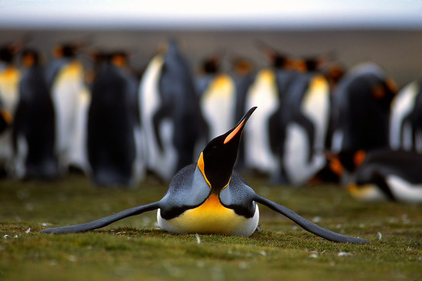 A parent king penguin stretches at a rookery on the Falkland Islands.