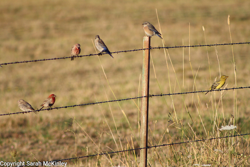 Bluebirds, finches, and a yellow female oriole perched on a barbed wire fence outside of Willits in Mendocino County in Northern California.