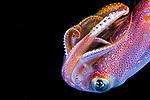 Squid full grown , Black Water diving over Gulfstream Current; Florida Atlantic Diving; Plankton; SE Florida Atlantic Ocean off West; Palm Beach; larval fish; marine life; pelagic creatures; pelagic larval marine life; vertical migration marine creatures
