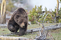 A large Boar Grizzly Bear roaming Yellowstone National Park looking for his next meal