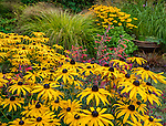 Vashon-Maury Island, WA: Summer perennial garden with blooming Rudbeckia fulgida 'Goldsturm', Agastache 'Red Coronado' and Pheasant's-tail grass (Anemanthele lessoniana)