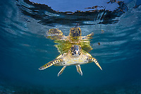 hawksbill turtle, Eretmochelys imbricata, rests just under the surface of the water. This species is critically endangered and is found worldwide. Raja Ampat, Papua, Indonesia, Pacific Ocean