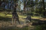 Domestic Goat (Capra hircus) pair in unsecured pen, central California