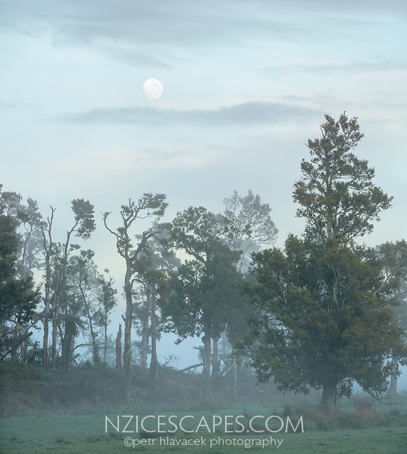 Moon set behind native totara trees on misty winter dawn on farmland in Whataroa, South Westland, West Coast, South Island, New Zealand, NZ