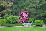 Seattle, WA<br /> Kubota Garden city park, flowering rhododendron amid a forest wall of trees and shrubs