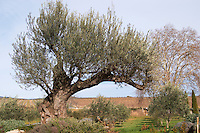 Very old olive tree. Domaine Mas Gabinele. Faugeres. Languedoc. France. Europe.