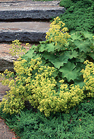 Alchemilla mollis in flower with Juniperus next to steps, ground covers for sun