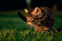 A Himalayan-Persian kitten playing in the grass.