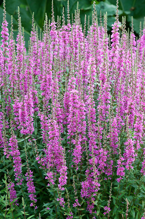 Lythrum virgatum 'The Rocket', early August. A form of purple loosestrife.