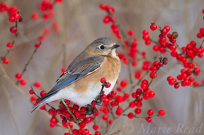 Eastern Bluebird (Sialia sialis) female perched amid winterberry (Ilex sp.) fruits in winter, New Yok, USA