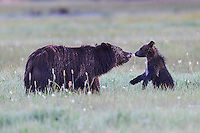 Famous Grand Teton National Park Grizzly Bear 399 nuzzles her new cub in the late Spring of 2016.