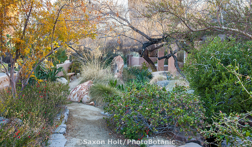 Gossypium harkenssii (San Marcus Hibiscus, Hawaiian Cotton), Living Desert, Palm Springs, California.
