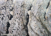 0626-1118  Details of Skin, Black Spiny-tailed Iguana (Black Iguana, Black Ctenosaur), On Half-moon Caye in Belize, Ctenosaura similis  © David Kuhn/Dwight Kuhn Photography