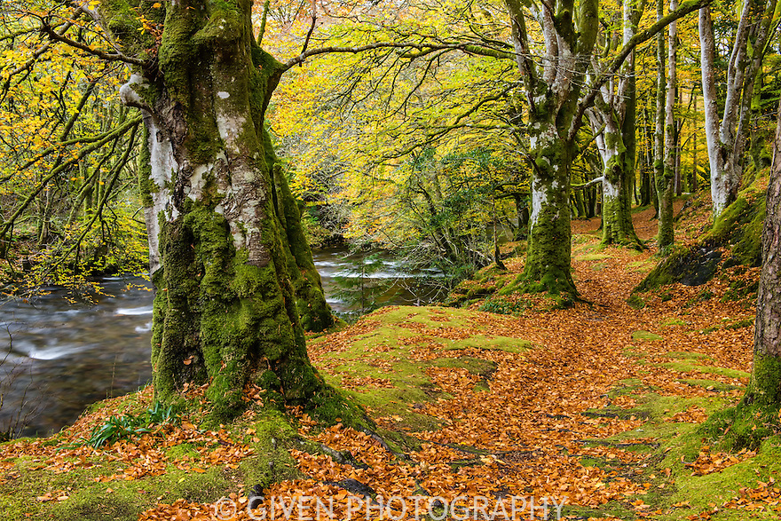 Beech Forest & The River Coe, Scotland