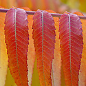 Rhus typhina 'Radiance', commonly known as velvet or stag's horn sumach, early November.