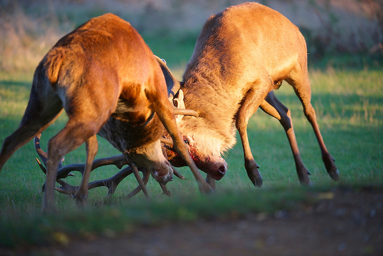 Red deer (Cervus elaphus) stags fighting during the rut at Bushy park, London